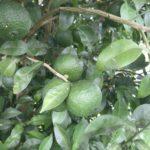 自家製柚子胡椒